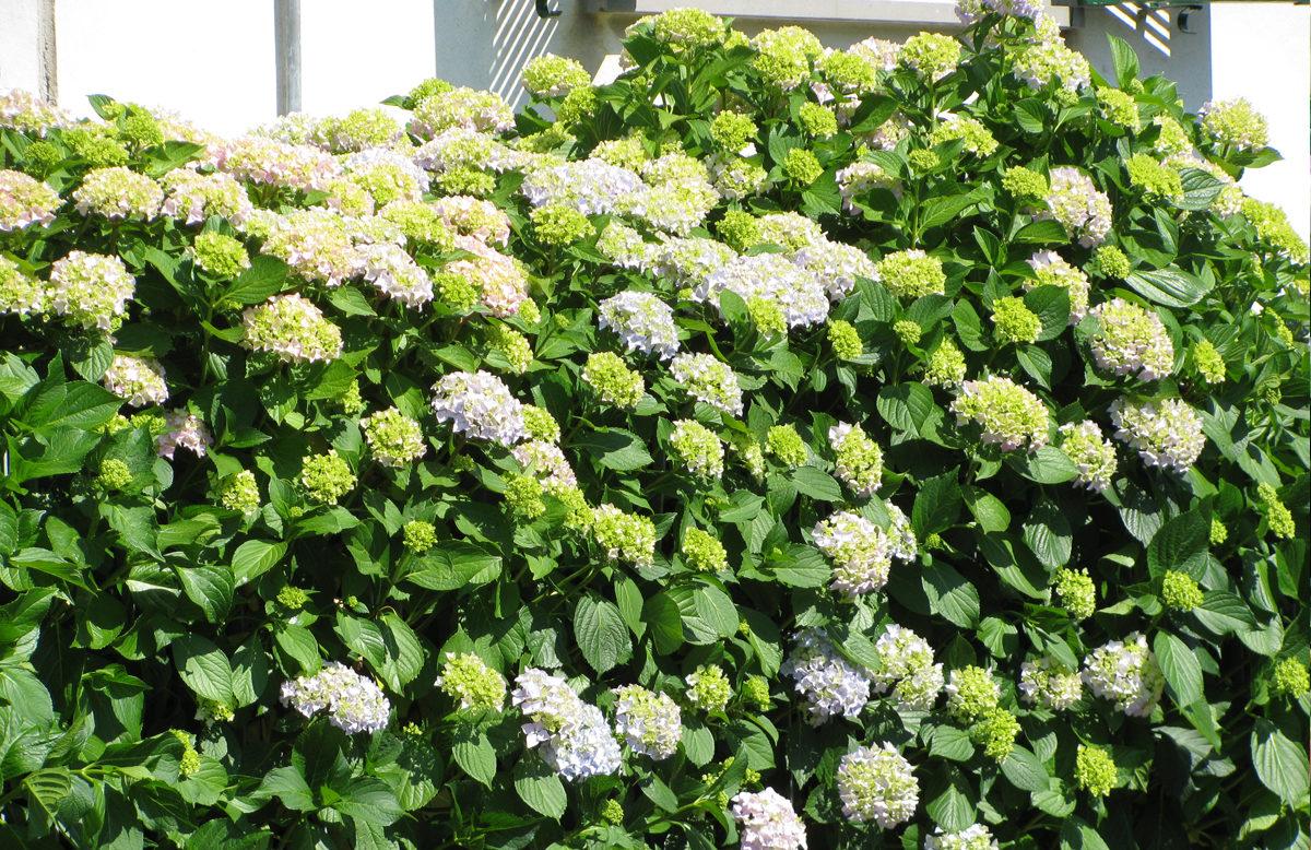 schnellwachsende heckenpflanzen der kleine h ppener in. Black Bedroom Furniture Sets. Home Design Ideas